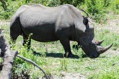 Nosorożec pasa wzdłuż parka w obraz stock