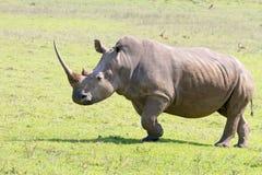 Nosorożec pasanie w Tala gry Intymnej rezerwie w Południowa Afryka Zdjęcia Royalty Free