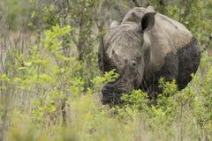 Nosorożec portret w Południowa Afryka obrazy royalty free