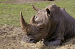 nosorożec spać Obrazy Royalty Free