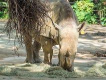 Nosorożec zamyka up zdjęcie royalty free