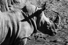 Nosorożec zwierząt czarny i biały portrety Fotografia Royalty Free