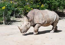 Nosorożec, zwierzęcia lub przyrody pojęcie, Zdjęcia Royalty Free