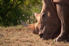 Nosorożec Obrazy Stock