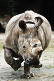 nosorożec Zdjęcia Royalty Free