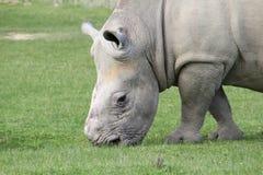 nosorożec Obrazy Royalty Free