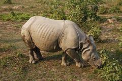 nosorożec Fotografia Royalty Free