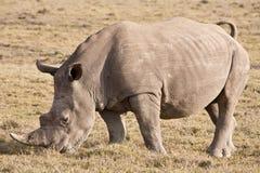 nosorożec biel Zdjęcia Stock