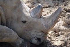 /nosorożec, blisko czarnej Fotografia Stock