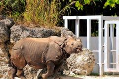 Nosorożec chodzi w zoo Fotografia Royalty Free
