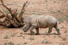 nosorożec dziecka Obrazy Royalty Free