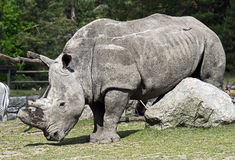 nosorożec frim afryki w celu Zdjęcia Stock