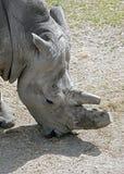 nosorożec frim afryki w celu Fotografia Royalty Free