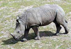 nosorożec frim afryki w celu Obraz Stock
