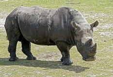 nosorożec frim afryki w celu Fotografia Stock