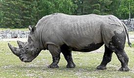 nosorożec frim afryki w celu Obrazy Royalty Free