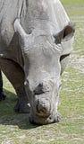 nosorożec frim afryki w celu Obraz Royalty Free