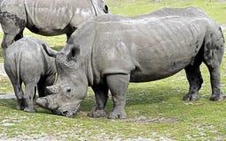 nosorożec frim afryki w celu Zdjęcia Royalty Free
