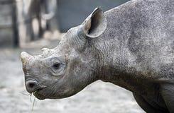 nosorożec frim afryki w celu Zdjęcie Royalty Free