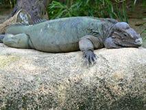 Nosorożec iguana Zdjęcie Royalty Free