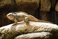 Nosorożec iguany w Australia zoo Zdjęcie Royalty Free