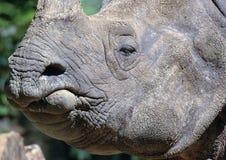 nosorożec indyjska Obrazy Royalty Free