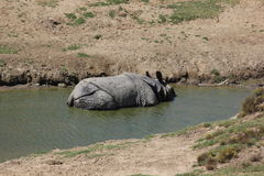 nosorożec indyjska Fotografia Royalty Free