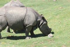 nosorożec indyjska Fotografia Stock