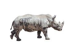 nosorożec odosobniony biel Zdjęcie Stock