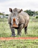 Nosorożec stoi - daleko fotografia royalty free