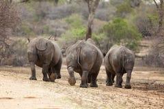 Nosorożec tercet Zdjęcia Stock