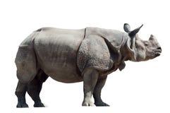 nosorożec unicornis Zdjęcia Royalty Free