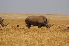 nosorożec white zdjęcia stock