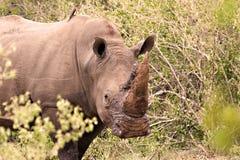 nosorożec white Zdjęcia Royalty Free
