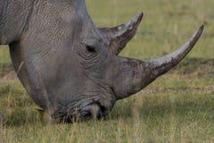 nosorożec white Zdjęcie Royalty Free