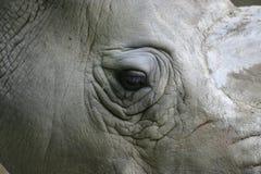 nosorożec white Obraz Royalty Free