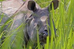 Nosorożec zerkanie przez traw Zdjęcia Stock
