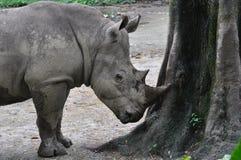 nosorożec Obraz Royalty Free