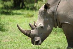 nosorożec biel Zdjęcia Royalty Free