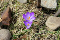 Nossa somente duas estas primaveras do açafrão do roxo Fotografia de Stock
