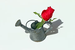 Nostalgia Mini Garden. Tin bucket sprinkler with a red rose Stock Photo