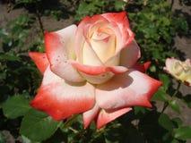 Nostalgiczny hybrydowy herbaciany biel barwiąca menchii róża 'Nostalgia' Fotografia Royalty Free