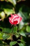 Nostalgii menchii róża Obraz Stock