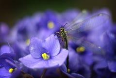 Nostras de Euroleon en violeta Imagenes de archivo