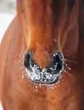 Nostrils of bay horse in to snow Royalty Free Stock Photo