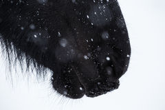 Nostrils of friesian horse and snowflake Stock Photo