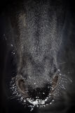 Nostrils of friesian horse in to snow Stock Photos