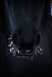 Nostrils of friesian horse in to snow Royalty Free Stock Image