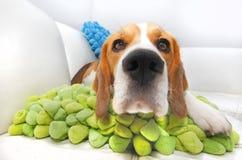 Nosy Beagle dog. On a colorful green cushion Royalty Free Stock Photos