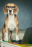 Nosy beagle in glasses near laptop Stock Photography